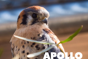 Apollo the American Kestrel