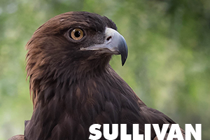 sullivan is a golden eagle