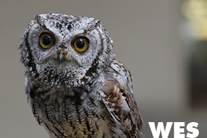Wes is a western screech owl