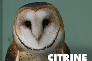 Citrine barn owl