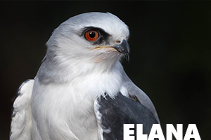 Elana white tailed kite