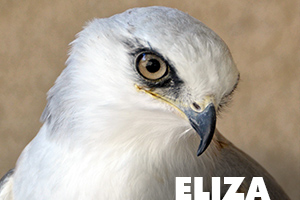 Eliza white tailed kite