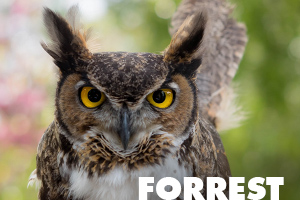 Forrest great horned owl