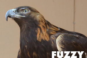Fuzzy golden eagle