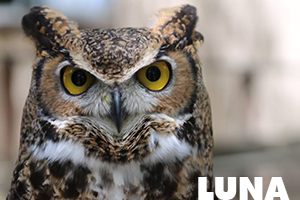 Luna great horned owl