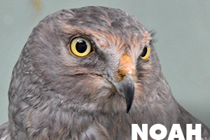 Noah northern harrier