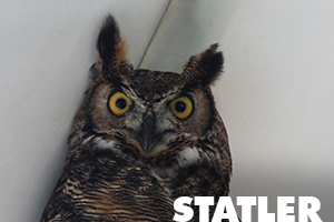 Statler is a great horned owl