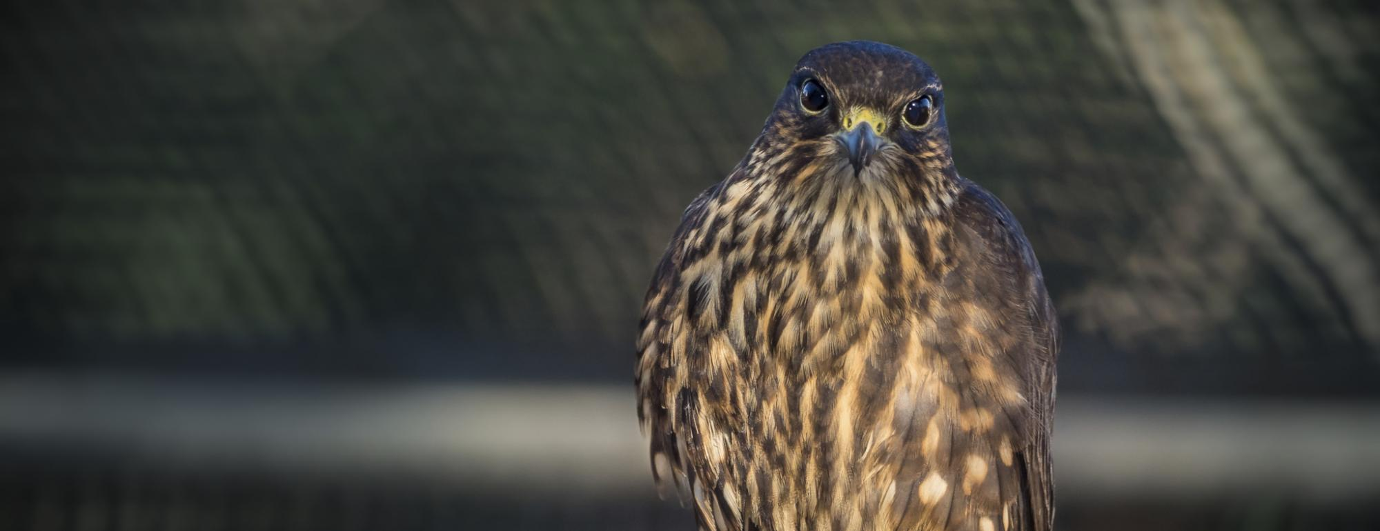 Merlin being rehabilitated for release into the wild