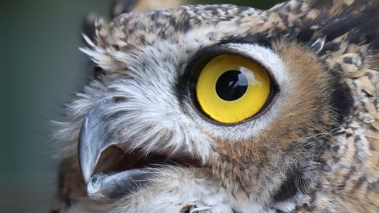 School of Veterinary Medicine - LUNA: great horned owl