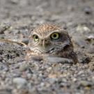 burrowing owl by Becky Matsuraba