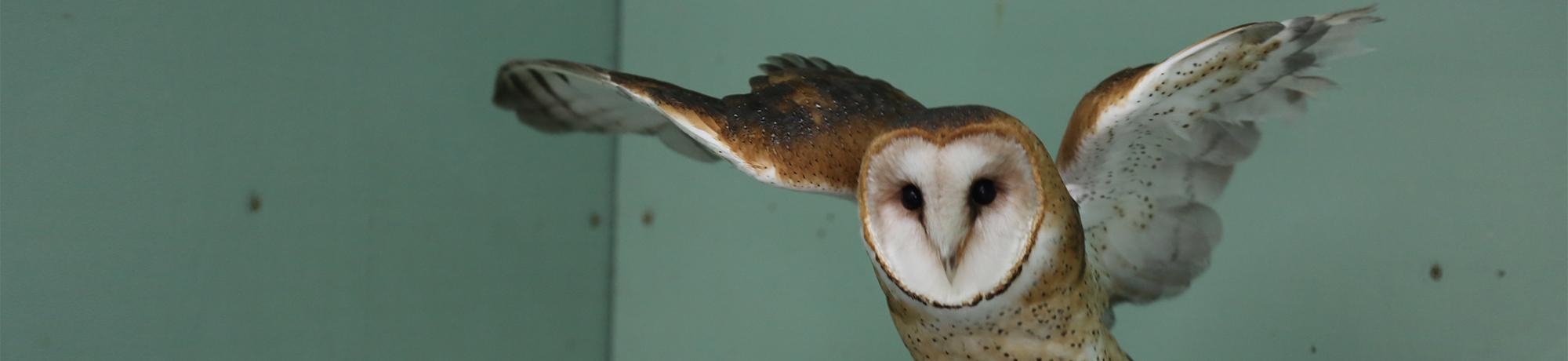 citrine is a barn owl