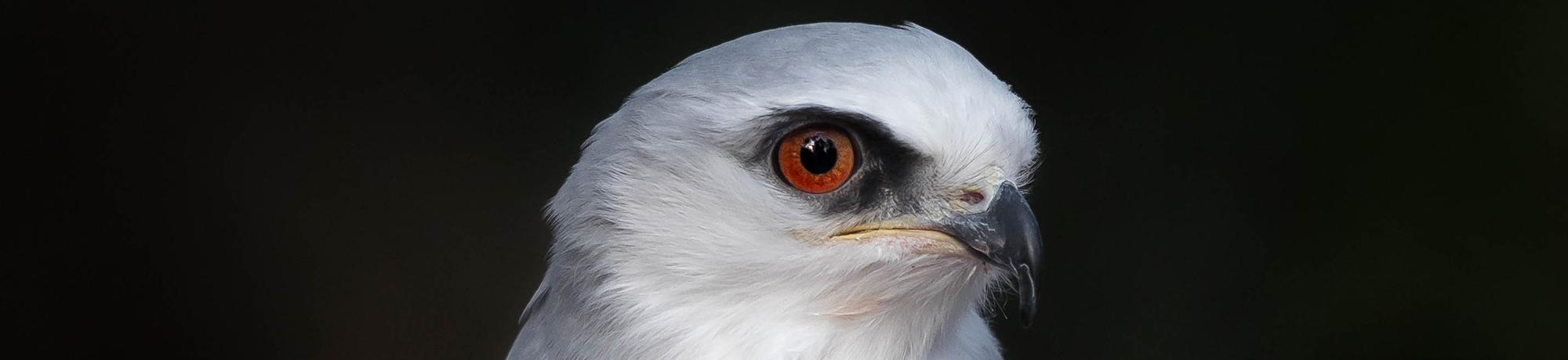 Elana is a white-tailed kite