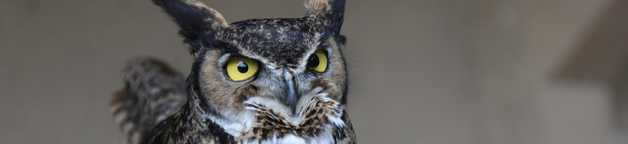 Forrest is a great horned owl