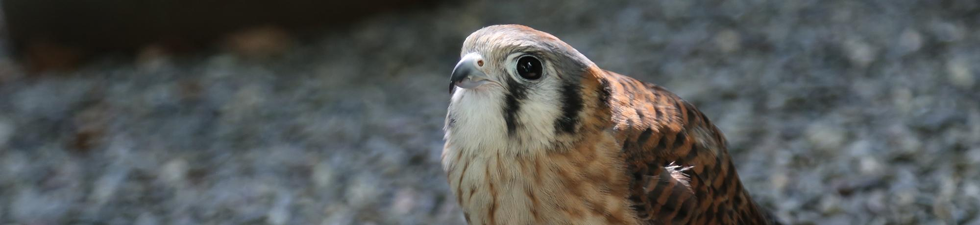 Kalli is an American kestrel