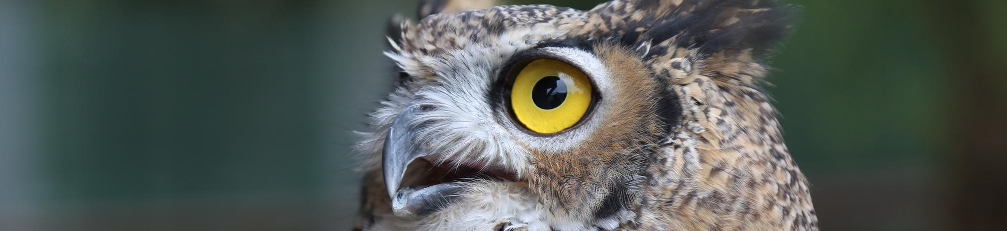 Luna is a great horned owl