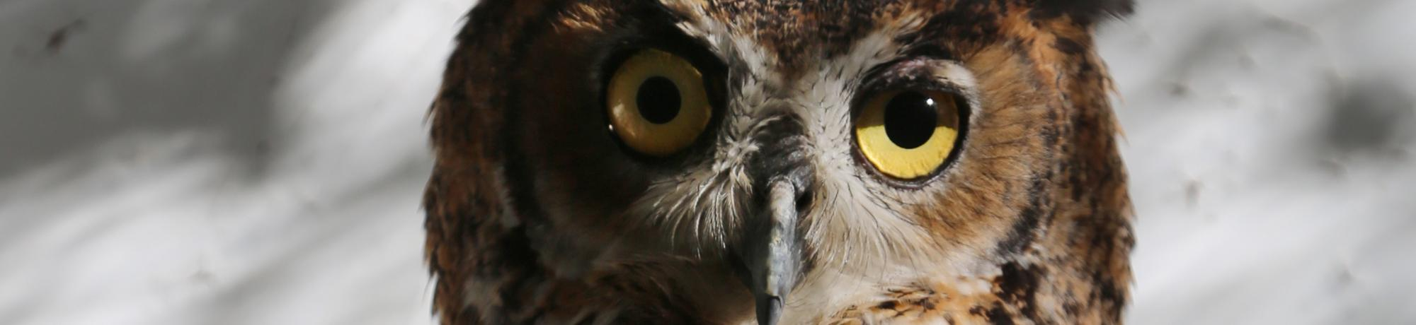 Mad-Eye is a great horned owl