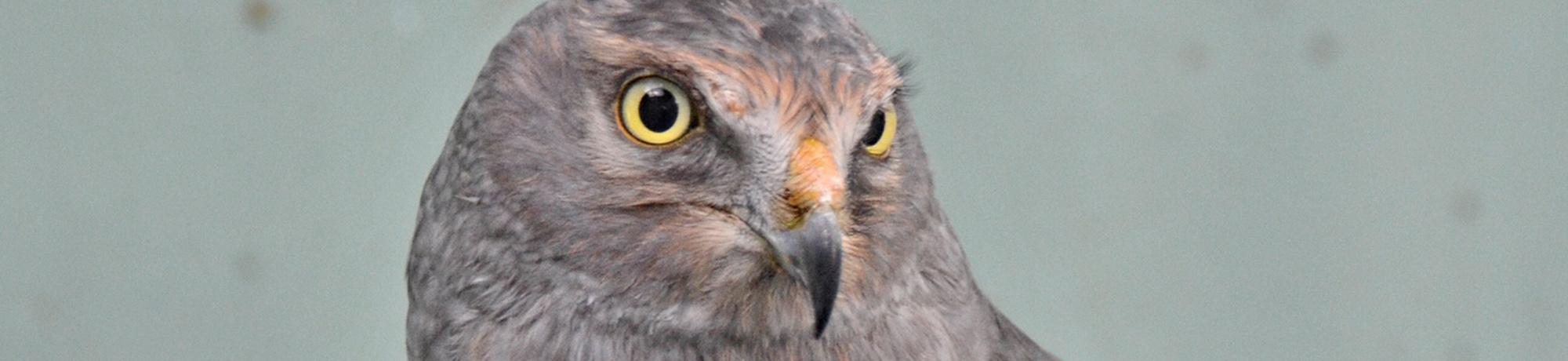 Noah is a northern harrier
