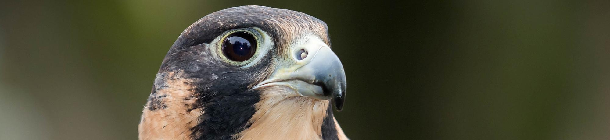 Phoenix is a peregrine falcon