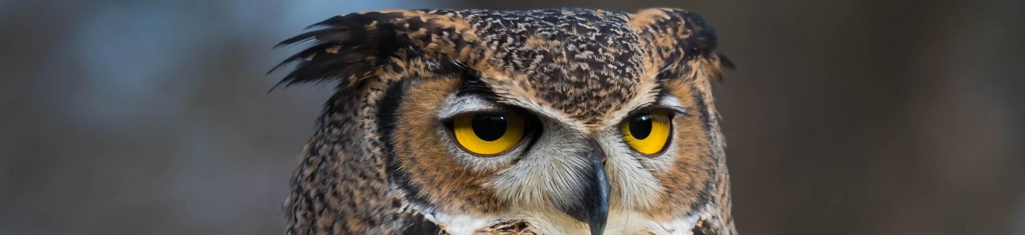 Luna the Great Horned Owl
