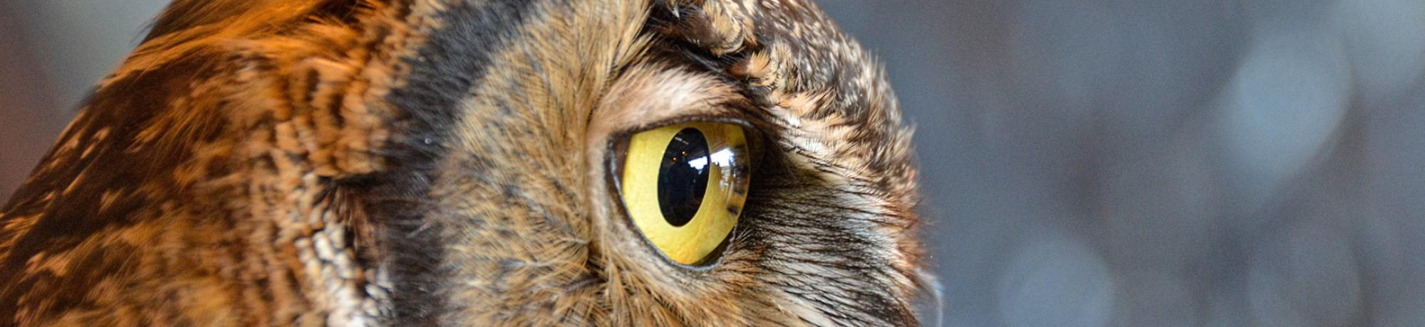 Forrest the Great Horned Owl